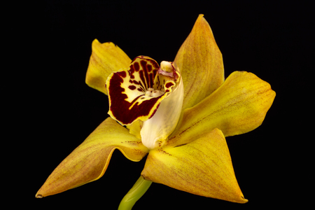 Close-up of cymbidium boat orchid flower. Zen in the art of flowers. Macro photography of nature.