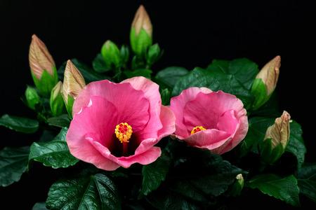 Nahaufnahme der rosa sinensis Hibiscusblume. Fotografie der Natur.
