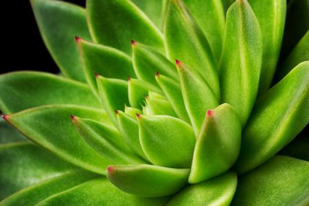 Nahaufnahme der saftigen Echeveria. Makrofotografie der Natur.