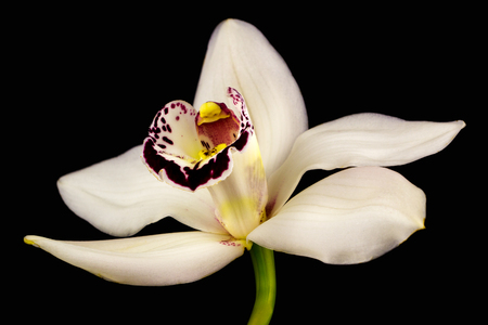 Close-up of white cymbidium boat orchid flower. Zen in the art of flowers. Macro photography of nature. Standard-Bild