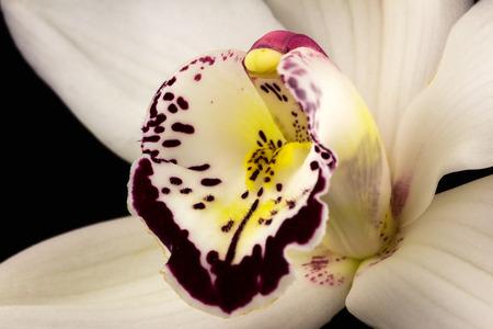 Nahaufnahme der weißen Cymbidiumboot-Orchideenblume. Zen in der Kunst der Blumen. Makrophotographie der Natur.