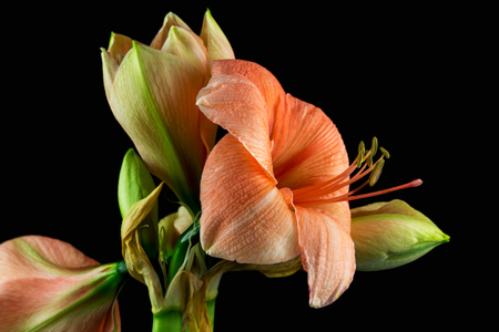 Close-up of green-apricot amaryllis flower. Zen in the art of flowers. Macro photography of