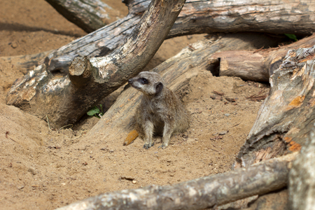 A full body of a wild African Meerkat from front