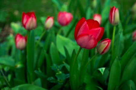 Close-up of tulip flowers in the spring garden.Photography of nature. Stock Photo