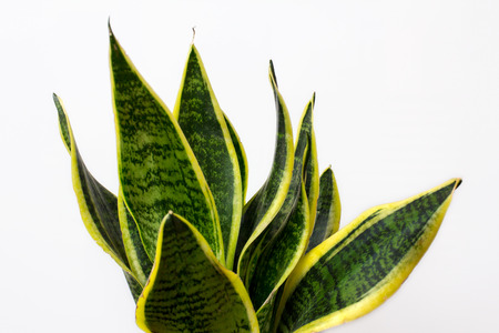 Close-up of Sansevieria plant. Macro photography of nature.