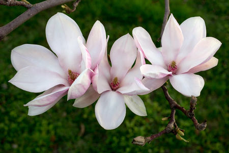 Branch of magnolia sieboldii tree in the spring garden