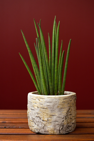 Close-up of sansevieria plant. Macro photography of nature. Stock Photo