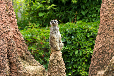 A full body of a wild African Meerkat from front.