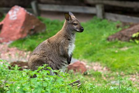 Full body of kangaroo on the green grass. Photography of wildlife.
