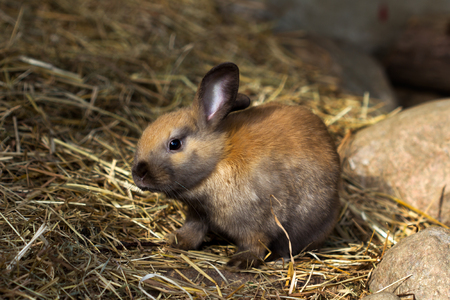 Full body of brown domestic pygmy rabbit. Stock Photo