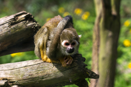 Full body of the squirrel simian monkey. Photography of wildlife. Stock Photo