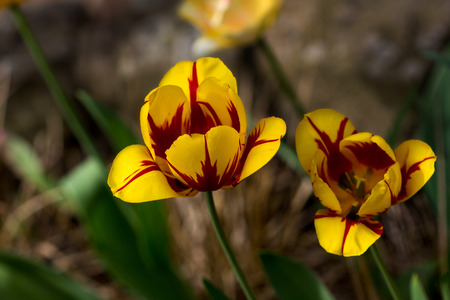 Red-yellow tulip flowers in the spring garden. Macro photograpy of nature.