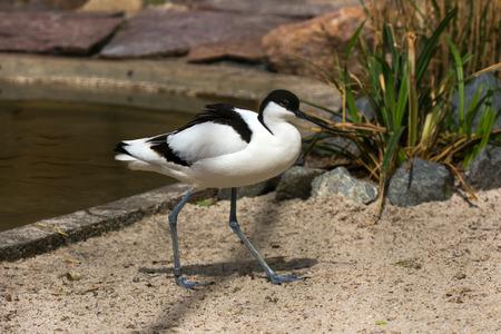 Pied Avocet (Recurvirostra avosetta) black and white waterbird Фото со стока