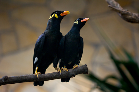 Courting female and male paar of common hill myna on the branch