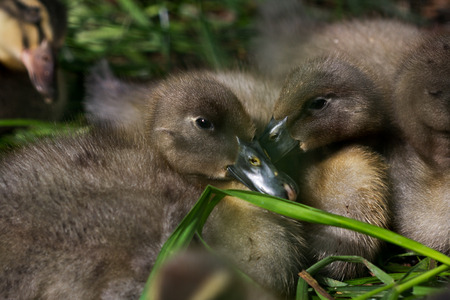 Close-up of little duckling. Photography of wildlife.