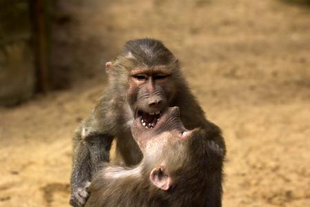 Two hamadryas baboon monkeys are playing. Close-up of Old World monkeys.