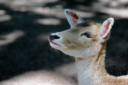 Portrait of fallow deer (dama, dama) on the forest. Phtography of wildlife.