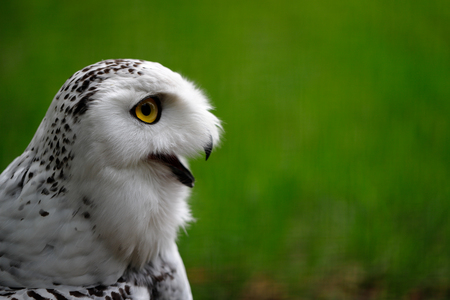 Close-up of female snowy owl. Photography of wildlife. Stockfoto