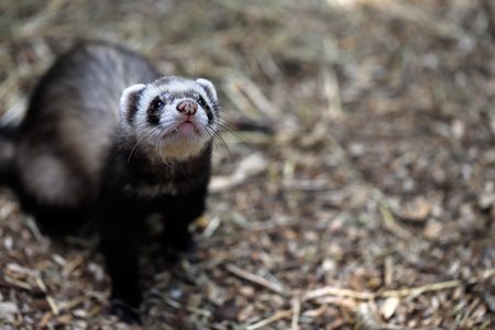 Portrait of white-brown domestic ferret. Looks up.