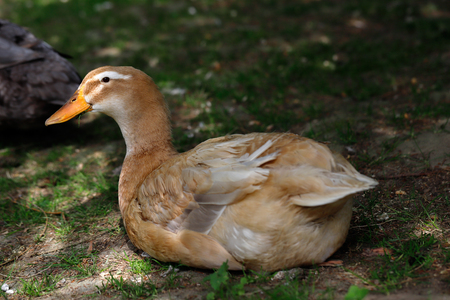 Full body of brown domestic duck in the garden Stock Photo