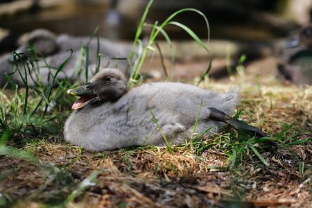 Close-up of little grey duckling. Photography of nature.