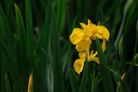 Close-up of yellow iris pseudacorus macrophyte aquatic plant. flower. Photography of nature. Stock Photo