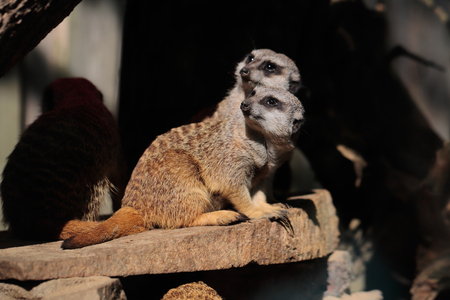Full body of a wild African Meerkats. Photography of wildlife. Stock Photo