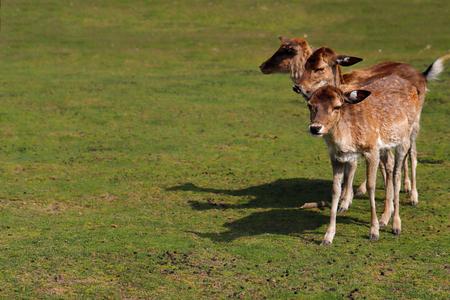 Full body of three fallow deers (dama dama) on the meadow. Phtography of wildlife.