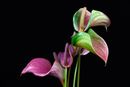 Close-up of multicolor anthurium flamingo flower. Macro photography of nature.