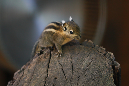 Close-up of little striped common chipmunk on the tree. Photography of wildlife. Stock Photo