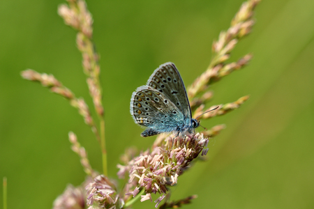 Close-up blue lycaenidae butterfly on the meadow wildplant. Photography of wildlife. Stok Fotoğraf