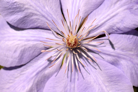 Close-up of of lilac clematis flower climbing plant in the spring garden. Macro photography of nature.