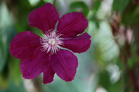 Close-up of of pink clematis flower climbing plant in the spring garden. Macro photography of nature.