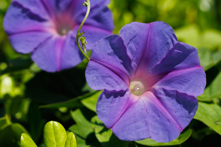 Close-up of blue-lilac flowers in the summer garden. Macro photography of nature.
