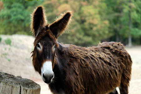 Portrait of domestic Catalan donkey on the farm. Photography of nature and wildlife.