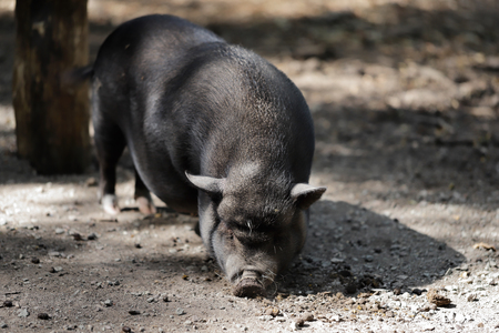 Full body of black pig breed Vietnamese Pot-bellied. Photography of nature and wildlife. Imagens