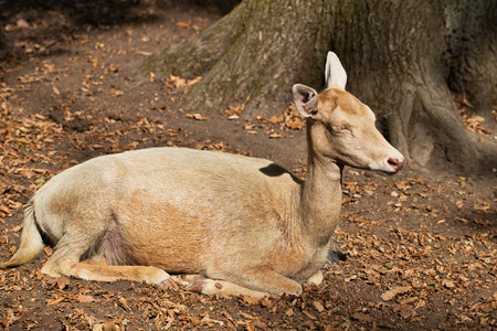 Full body of female adult fallow deer (dama dama) in the forest. Photography of nature and wildlife.