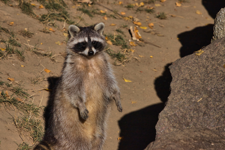 Portrait of adult female lotor common raccoon (procyon lotor). Photography of nature and wildlife.