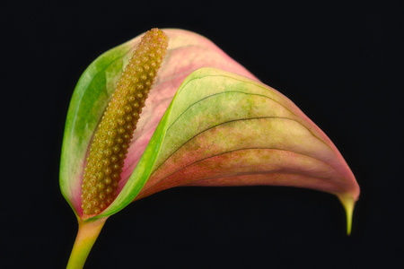 Close-up of multicolor anthurium flamingo flower on the black background. Macro photography of nature.