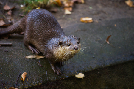 Portrait of eurasian otter (Lutra lutra). Photography of nature and wildlife.