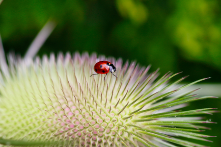 Ladybug on the wild teasel (dipsacus fullonum). Summer meadow. Photography of nature and wildlife.