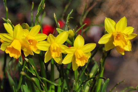 Close-up of yellow narcissus flowers on the spring meadow. Macro photography of nature. 免版税图像