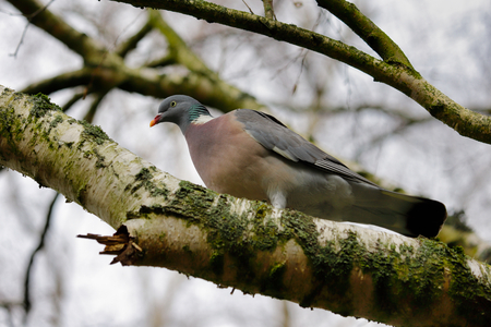Portrait of dove bird on the branch. Photography of nature and wildlife.