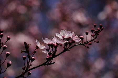 Branch of prunus serrulata japanese cherry in the spring garden. Macro photography of nature.
