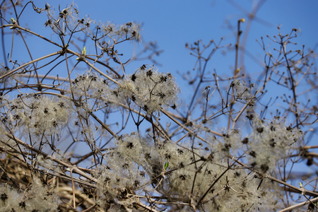 Seed heads of vitalba growing (old man's beard) in a hedge on the blue sky background. Macro photography of nature.