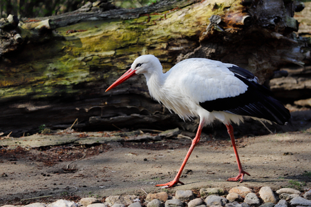 Full view of white stork is a large wading bird in the stork family Ciconiidae. Photography of nature and wildlife.