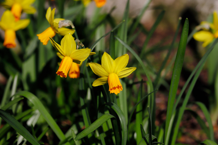 Close-up of yellow narcissus flower in the spring garden. Macro photography of nature. 免版税图像