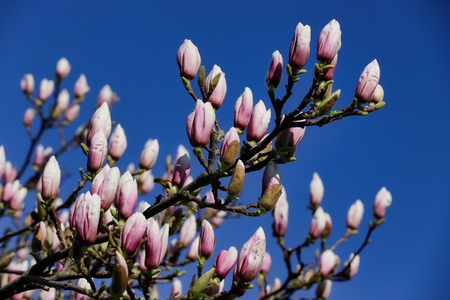 Branch of siebolds magnolia tree in the spring garden. Macro photography of nature.