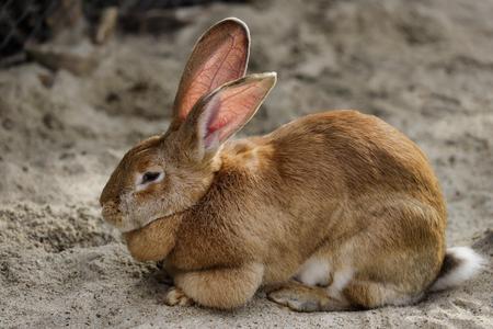 Corps entier de lapin géant flamand brun mâle domestique. Photographie de la nature et de la faune. Banque d'images