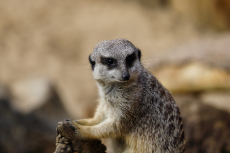 Portrait of a wild African Meerkat (Suricatta). Photography of nature and wildlife. Stock Photo